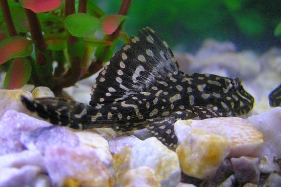 Pterygoplichthys joselimaianus - o mito do peixe que come fezes